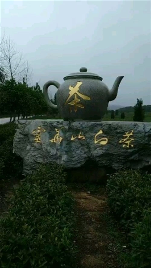 灵华山白茶