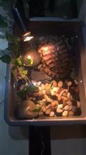 这个乌龟到底要吃什么呢?有人知道吗?喂它菜和肉还有虾,都不吃