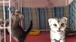 美短猫咪找主人,无病、无癣,健康活泼可爱,超级粘人。