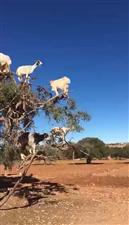 奇观:羊上树