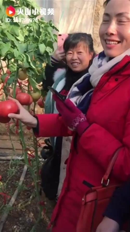 无土栽培西红柿!