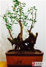 盆栽【矮霸石榴】