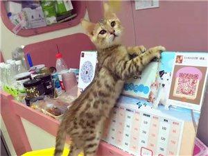 超级粘人的孟加拉豹猫,三个多月了 好养价优