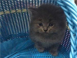 亲们亲们,自繁蓝猫特价,1800,天气太冷了,抱回去暖被窝吧