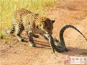 花豹的本事真是越来越大了,不到五分钟就轻轻松松收拾了一条巨蜥