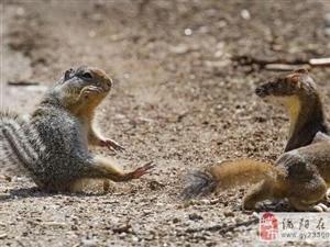 雪貂和松鼠打架,你猜谁能赢?