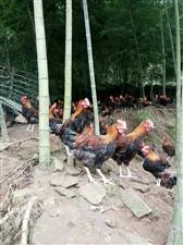 出售澳门威尼斯人赌城青山放养土鸡