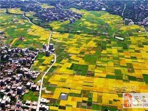 茂名:秋满金黄,美轮美奂的稻田!