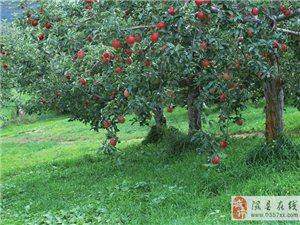 20年树龄以上的老苹果园(树)要登记备案了!