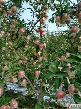 礼泉酥梨,红富士苹果,产地自发,全国包邮