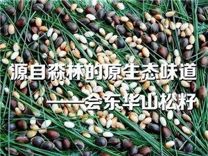 【洋芋微刊】源自森林的原生态味道――会东华山松籽