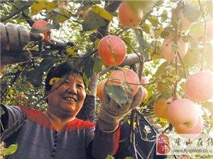 唐山:迁安大庄村的苹果又高产