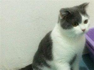 自家养的蓝白,乳白弟弟找新家,价格3000,有兴趣的朋友可以上门看猫。