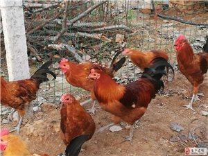 金乡有阉鸡了,不但美味,而且大补,你知道吗?