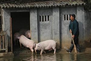 大叔每天逼猪跳水自杀