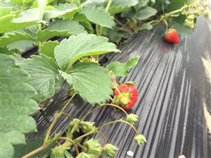 草莓熟了,凯里下司采草莓的地方,具体在哪里,怎么坐车我告诉你