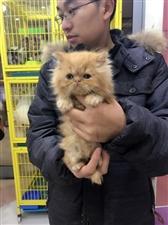 加菲猫乳色加白,浅三花,黄虎斑,个个都萌哦。直接可抱