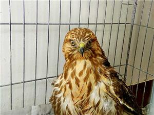 爱心接力,救治受伤国家一级野生保护动物金雕正在进行时