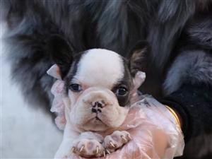 法国斗牛犬,各种花色都有,看中的抓紧预定,好货不等人。