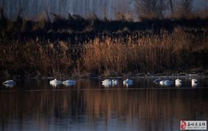寻觅迁徙的大天鹅