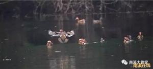 值得一看!南溪马耳岩水库的鸳鸯戏水,美爆了!