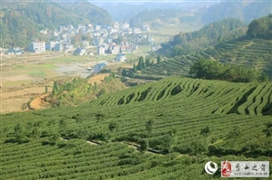 鸟瞰龙8国际娱乐城洪安万亩茶园 苍翠欲滴风景如画