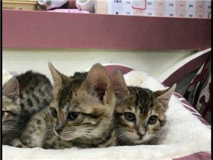 孟加拉豹猫一窝2公2母,很亲人,12月份猫咪活动月,价格最低