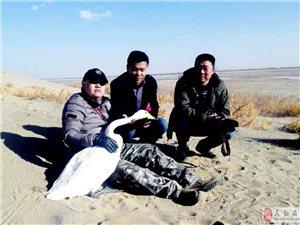 武威市鸟类保护志愿者协会在民勤县红崖山水库成功救助一只大天鹅