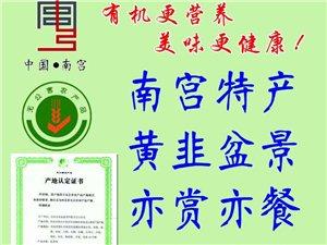 南宫特产有机黄韭盆景南宫韭黄菜盆景韭黄根苗韭菜盆景