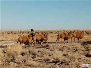 瓜州网友实拍冬季生活在戈壁滩上的骆驼