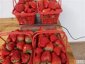 九龙潭草莓采摘园!全棚开摘!草莓!草莓!草莓!
