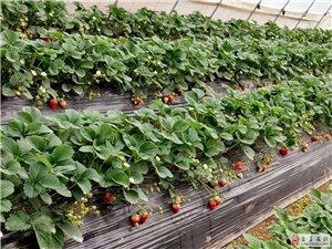 九��潭草莓采摘�@!全棚�_摘!草莓!草莓!草莓!