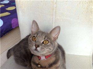 寻猫重酬¥2800明天或前寻得3800,化州市站前路和谐粥城对面丢失