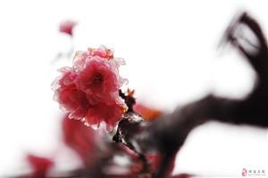2017春节珠海有哪里好玩的?听说有樱花节是不是真的?