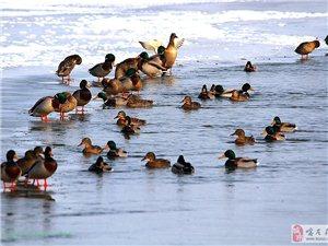 疯狂的野鸭-大凌河