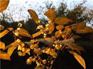 周末赏腊梅,泸州这几个赏梅地方值得一看!