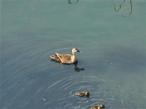 教场河的野鸭