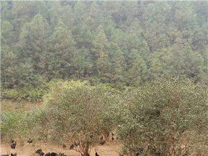 今年过年吃货们有福了,山林放养五黑鸡———属药用滋补俱佳的珍稀鸡种