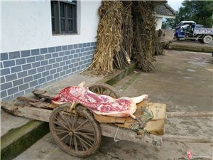 【我眼中的新年丰都】第4期:杀过年猪,这才叫过年,吃刨猪汤,生活才有滋