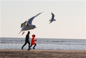 北戴河海鸥
