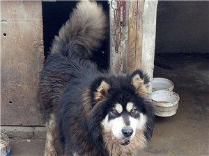 1岁半 阿拉斯加犬 寻求新家