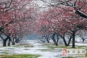 长兴万亩梅花香雪海迎来踏春赏花人