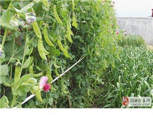 揭西莲花山脉上松树参天,优质蔬菜绿油油限量产。