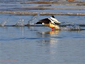 喀左大凌河的秋沙鸭
