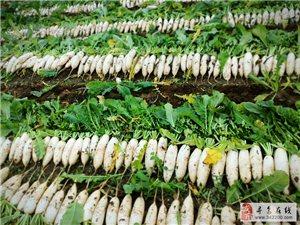 自家菜地种10万斤白萝卜出售批发,有10万斤左右,近的可以来菜地自挑自选,远的可送货