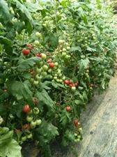 供应山东千禧小番茄