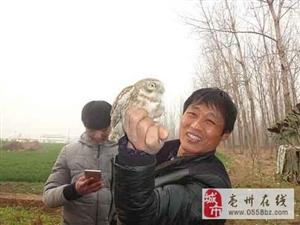 鸡网里飞入猫头鹰