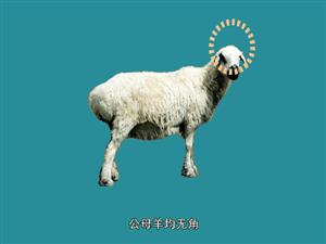 新疆巴尔楚克羊知多少?