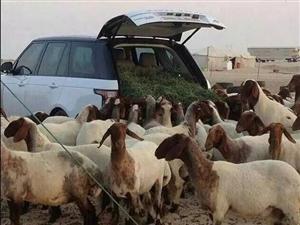 新疆喀什的刀郎羊贵,牧民也够任性的!