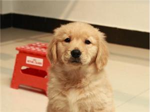 金毛幼犬一只,谁要(金沙国际娱乐官网宝华驾校旁)